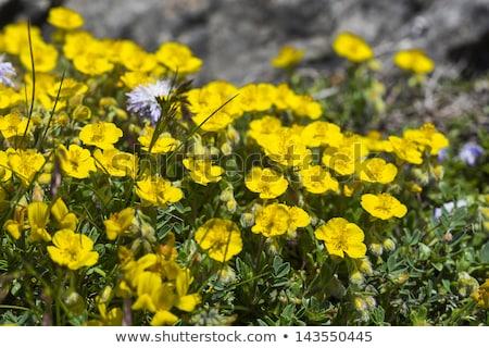 Ranunculus Montanus Flower In The German Alps Stok fotoğraf © haraldmuc