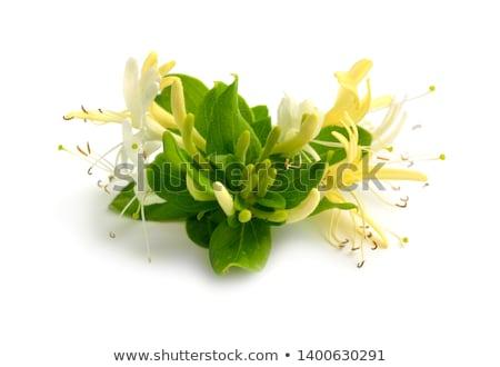 Bloemen geïsoleerd witte decoratief bloem blad Stockfoto © vavlt