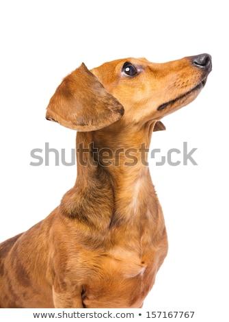 Dachshund Dog looking at a side Stock photo © leungchopan