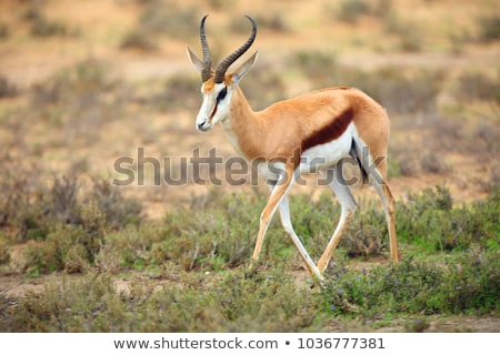 springbok antidorcas marsupialis stock photo © dirkr