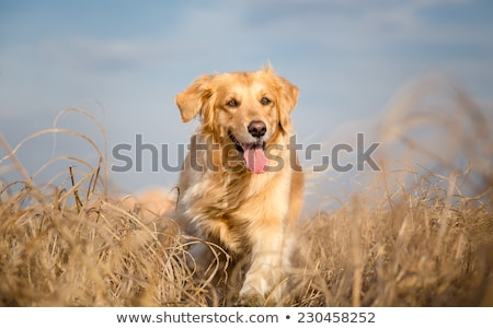 Pedigree golden retriever running on meadow Stock photo © bigandt
