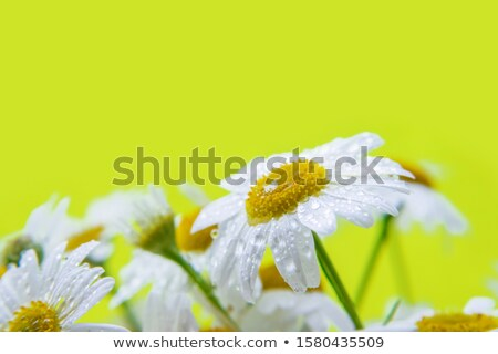 белый желтый Daisy весны лет зеленый Сток-фото © rabel
