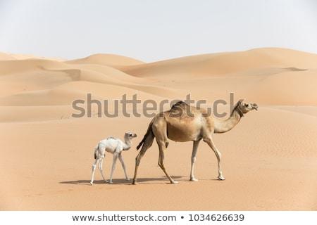Teve baba illusztráció természet homok Stock fotó © adrenalina
