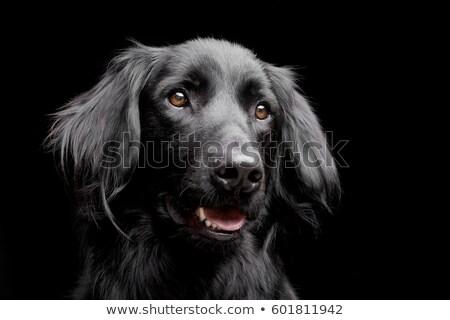 Mixte noir chien portrait tête Photo stock © vauvau