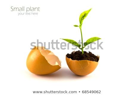 Stok fotoğraf: Büyüyen · yeşil · bitki · yumurta · kabuk · beyaz