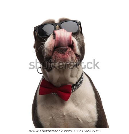 head of eager american bully with bowtie and sunglasses Stock photo © feedough