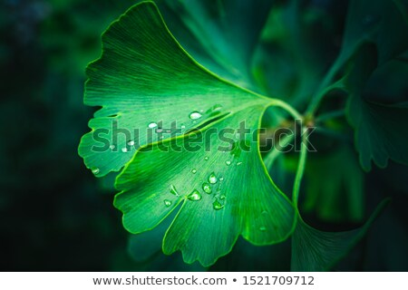 Green background with leaves of Ginkgo biloba Stock photo © blackmoon979