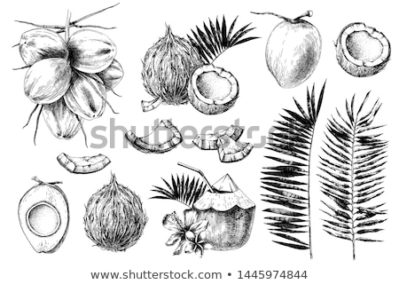 Ingredient Coconut in Shell Exotic Food Vector Stock photo © robuart