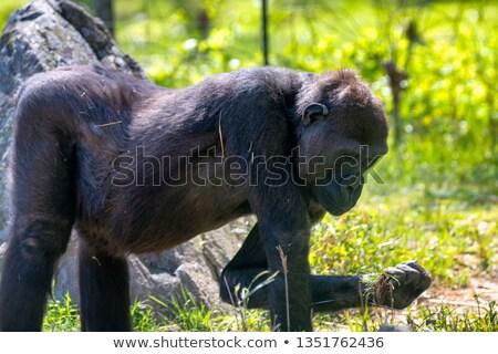 Stok fotoğraf: şempanze · çim · kadın · oturma · bakıyor · kamera