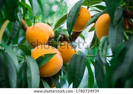 Prunus persica, Stock photo © Dar1930