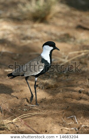Spurr-Winged Plover in Flight Stock photo © davemontreuil