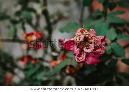 wilted roses garden nature background stock photo © goce
