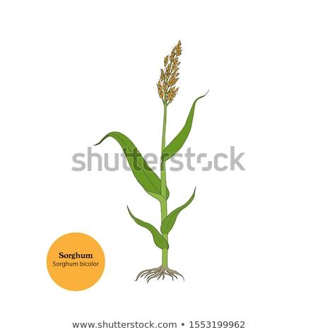 Sorghum (Sorghum bicolor) Stock photo © rbiedermann