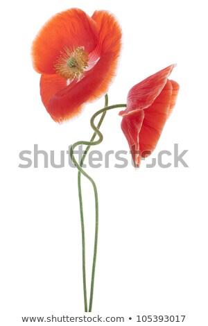 Two poppies in a field.  stock photo © olykaynen