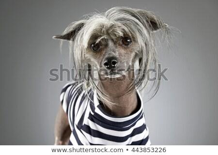 chinês · cão · cinza · foto · estúdio · feliz - foto stock © vauvau