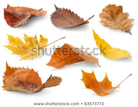 ива листьев осень ярко листва Blue Sky Сток-фото © Supertrooper