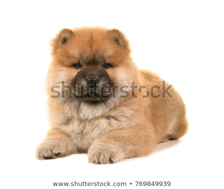 side view of cute chow chow standing and looking down Stock photo © feedough