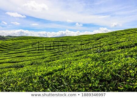 zöld · tea · mezők · sorok · friss · tájkép · hó - stock fotó © craig