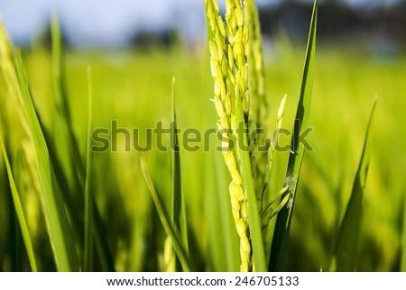 young paddy close up stock photo © azamshah72