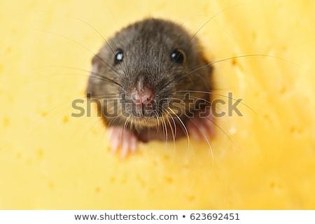 szép · egerek · derűs · gyönyörű · fehér · szeretet - stock fotó © Stellis
