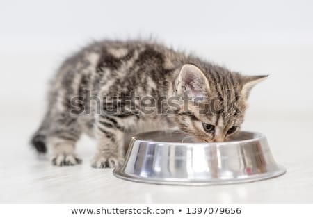 kitten eating from dish stock photo © dnsphotography