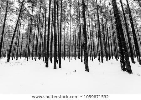 雪 冬天 樹 覆蓋 領域 森林 商業照片 © meinzahn