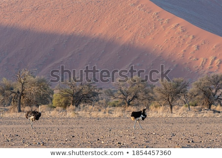 Male ostrich walking in the Namib desert Stock photo © michaklootwijk
