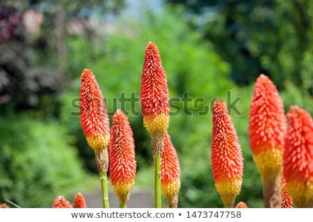 flor · vermelho · quente · pôquer · prímula - foto stock © alessandrozocc