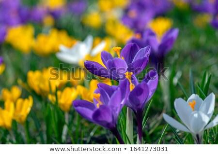 krokus · eerste · lentebloemen · bos · bloem · voorjaar - stockfoto © tannjuska