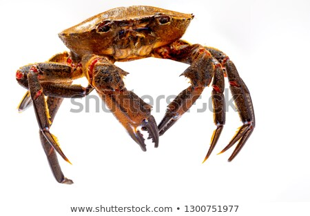 raw velvet crabs on a white background Stock photo © nito