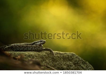 european viper on mountain meadow Stock photo © taviphoto