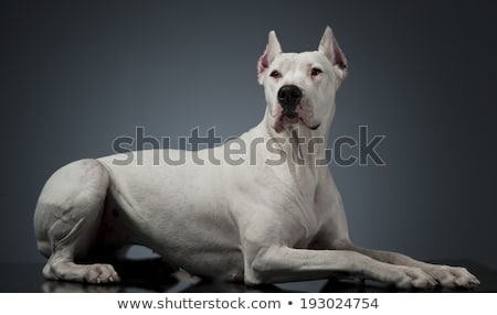 Hond studio tabel grappig donkere mooie Stockfoto © vauvau