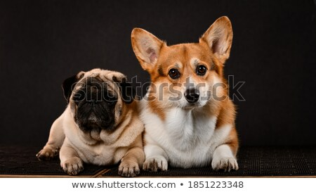 beautiful puppy corgie sitting in a dark photo studio stock photo © vauvau