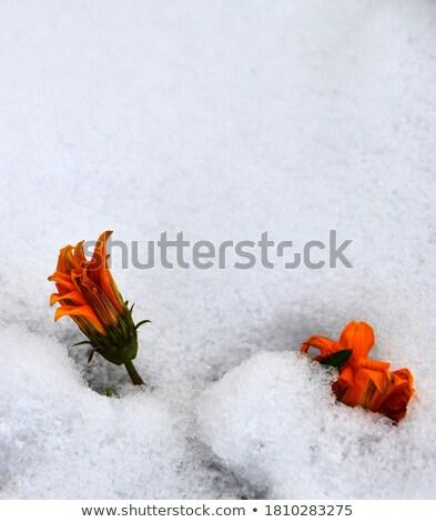 メイプル 葉 雪 先頭 表示 ストックフォト © stevanovicigor