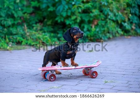 Zwarte teckel straat dier vallen Stockfoto © dariazu