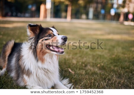 Rojo australiano pastor cachorro mirando Foto stock © yhelfman