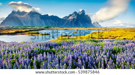 iceland landscape with blooming lupine and mountains stock photo © kotenko