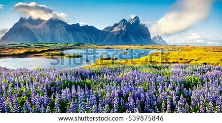 Islândia paisagem montanhas flores florescimento Foto stock © Kotenko