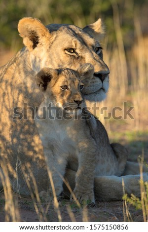 african lion panthera leo stock photo © ajlber