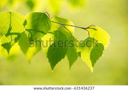 huş · ağacı · doku · ağaç · ahşap · arka · plan · model - stok fotoğraf © julietphotography