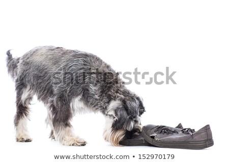 Schnauzer investigating a pair of shoes Stock photo © fantasticrabbit