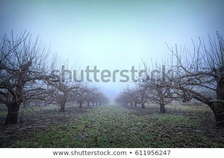 Verger de pommiers hiver harmonique rangée paysage pomme Photo stock © meinzahn