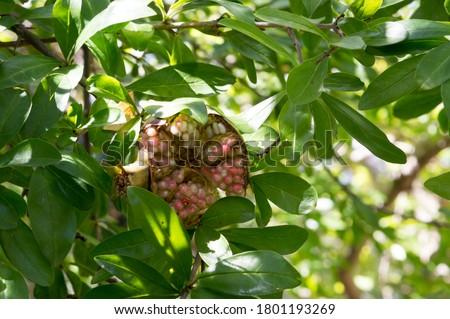 Pomegranate open wide  stock photo © hd_premium_shots