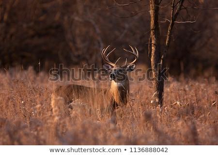 szarvas · őzgida · áll · mező · baba - stock fotó © nialat