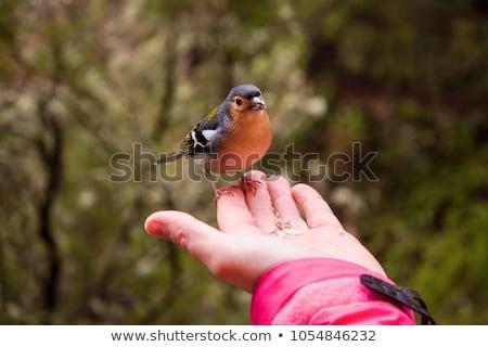 птица мадера острове Сток-фото © compuinfoto