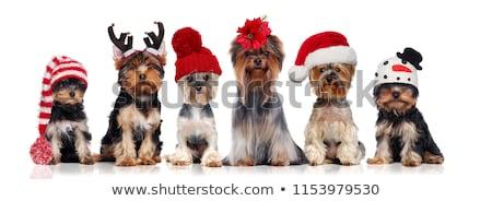 Kutyakölyök fej terrier fehér szépség portré Stock fotó © vauvau