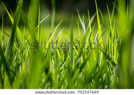 Long overgrown uncut grass lawn close up. Stock photo © latent
