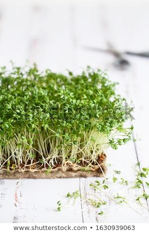 Garden cress, young plants. Stock photo © Melnyk