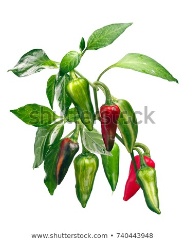 Capsicum annuum pepper leaves, paths Stock photo © maxsol7