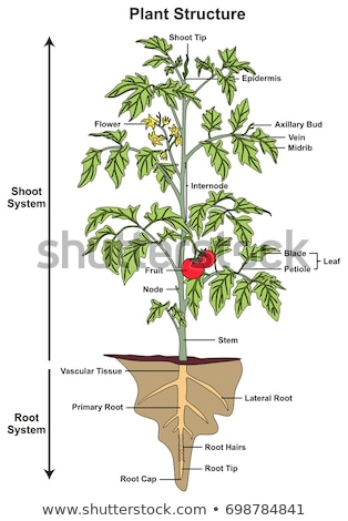 Diagram showing root and stem structure of a plant Stock photo © bluering